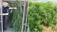 Malbork. Policjanci zlikwidowali plantację marihuany.